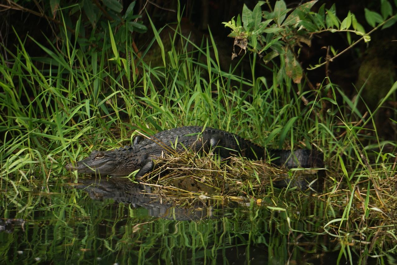 Okefenokee-Sumpf: Die Natur von ihrer wilden Seite images/okefenokee/07.jpg