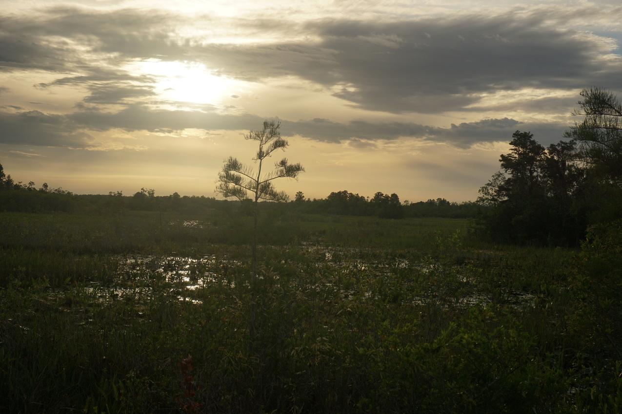 Okefenokee-Sumpf: Die Natur von ihrer wilden Seite images/okefenokee/28.jpg