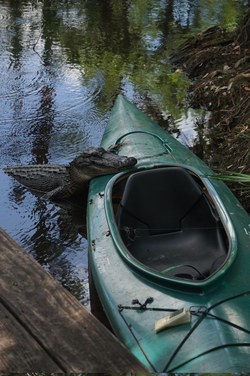 Okefenokee-Sumpf: Die Natur von ihrer wilden Seite images/okefenokee/33.jpg